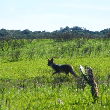 Jackal in luminous green grass