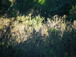Caracal Hiding in the bush